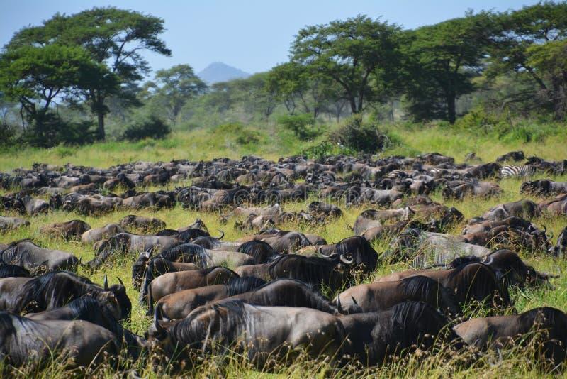 Migratie van de buffels Wildebeest op de vlaktes van Afrika stock foto's