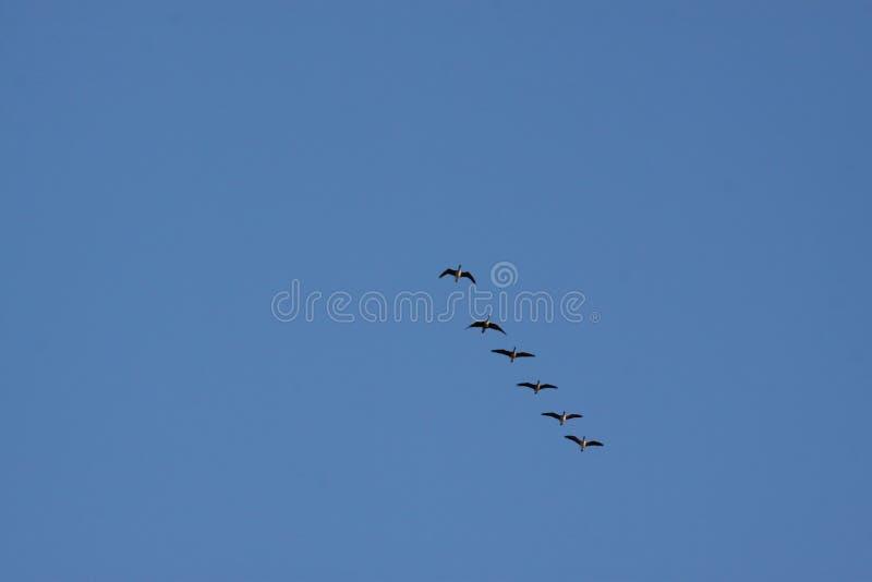 Migrating birds stock photos