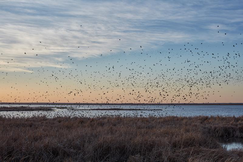 Migrating blackbirds flocking in Cheyenne Bottoms. Migrating blackbirds flocking above Cheyenne Bottoms wetlands at sunset silhouetted against the orange sky royalty free stock image
