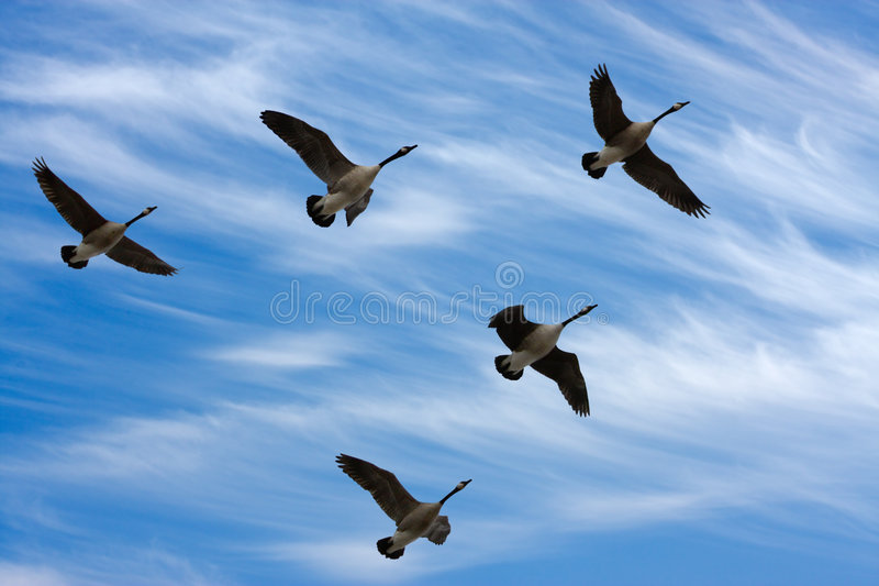 Migrating Geese. Flock of Canada Geese in V formation during spring migration, in silhouette againts a cloudy sky