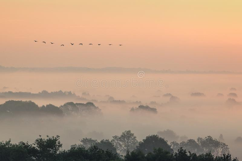 Migrating geese flying over a misty landscape in Evesham worcestershire royalty free stock photo
