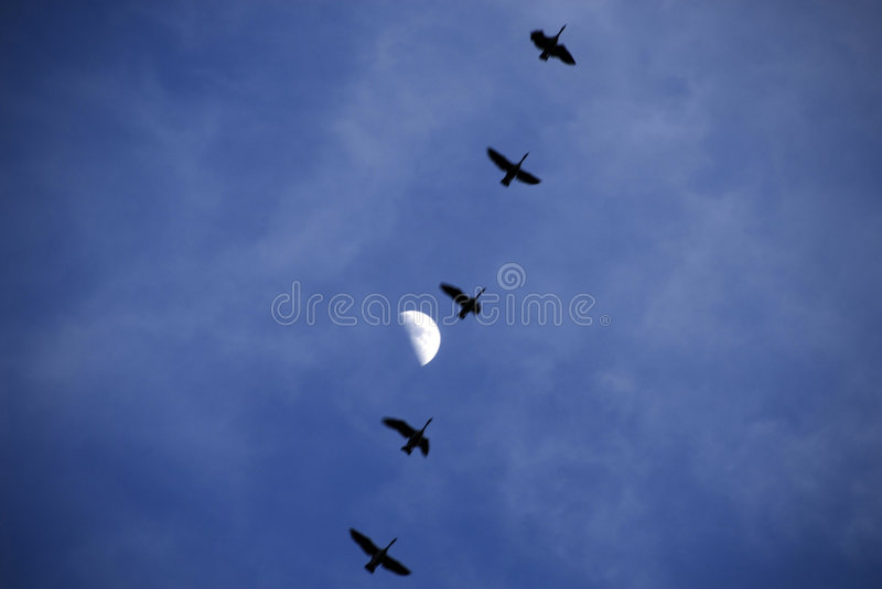 Download Migrating Geese & the Moon stock image. Image of flying - 7747869