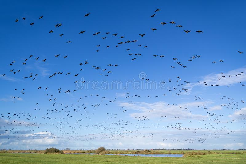 migrating greylag geese royalty free stock photos