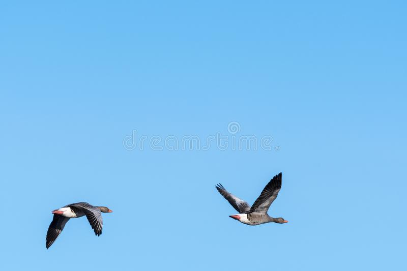 Migrating Greylag Goose couple royalty free stock image