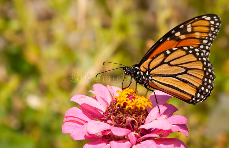 Migrating Monarch butterfly royalty free stock images