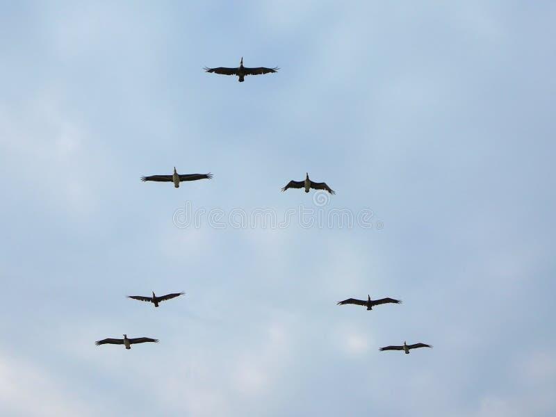 migrating söder arkivfoton