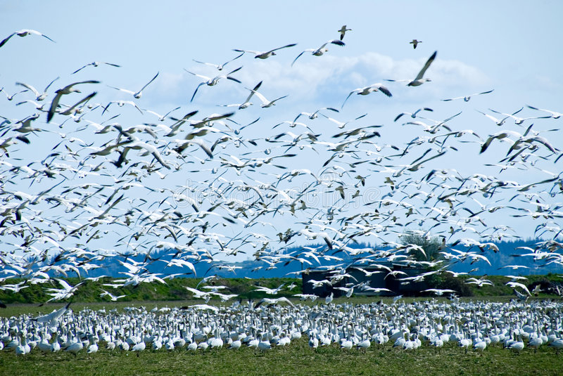Download Migrating Snow Geese Flock stock image. Image of birds - 2275449
