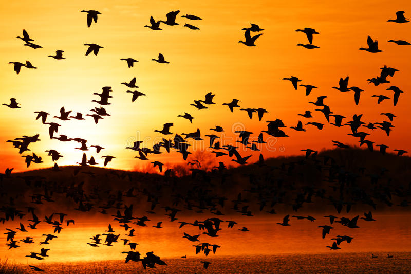 Migrating Snow Geese Fly at Sunrise royalty free stock photo