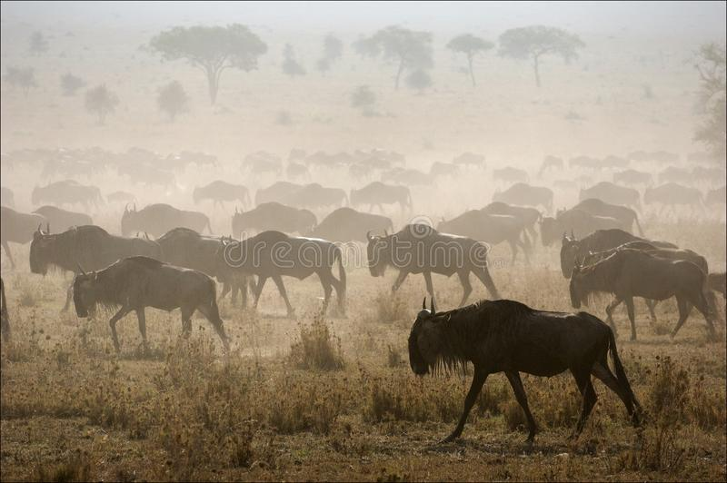 Migration. The herd of migrating antelopes goes on dusty savanna royalty free stock photo