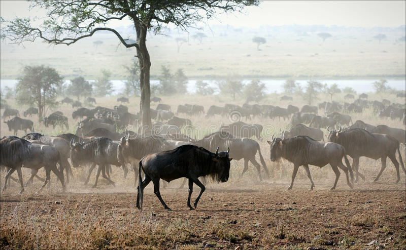 Migration. 2. The herd of migrating antelopes goes on dusty savanna stock photography