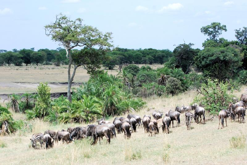 Migration animals green landscape - Serengeti. Migration wildebeest and zebras in steppe landscape with green grass, palms and acacia trees -Serengeti National stock images
