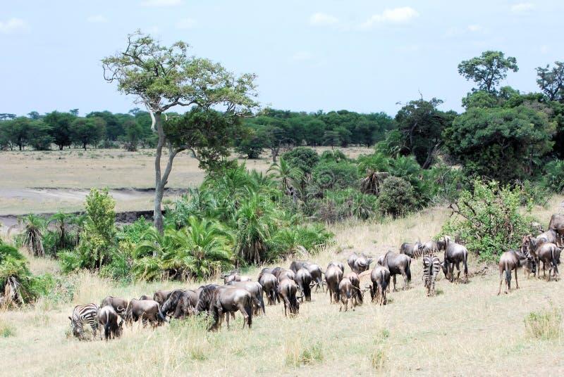 Migration animals green landscape - Serengeti stock images