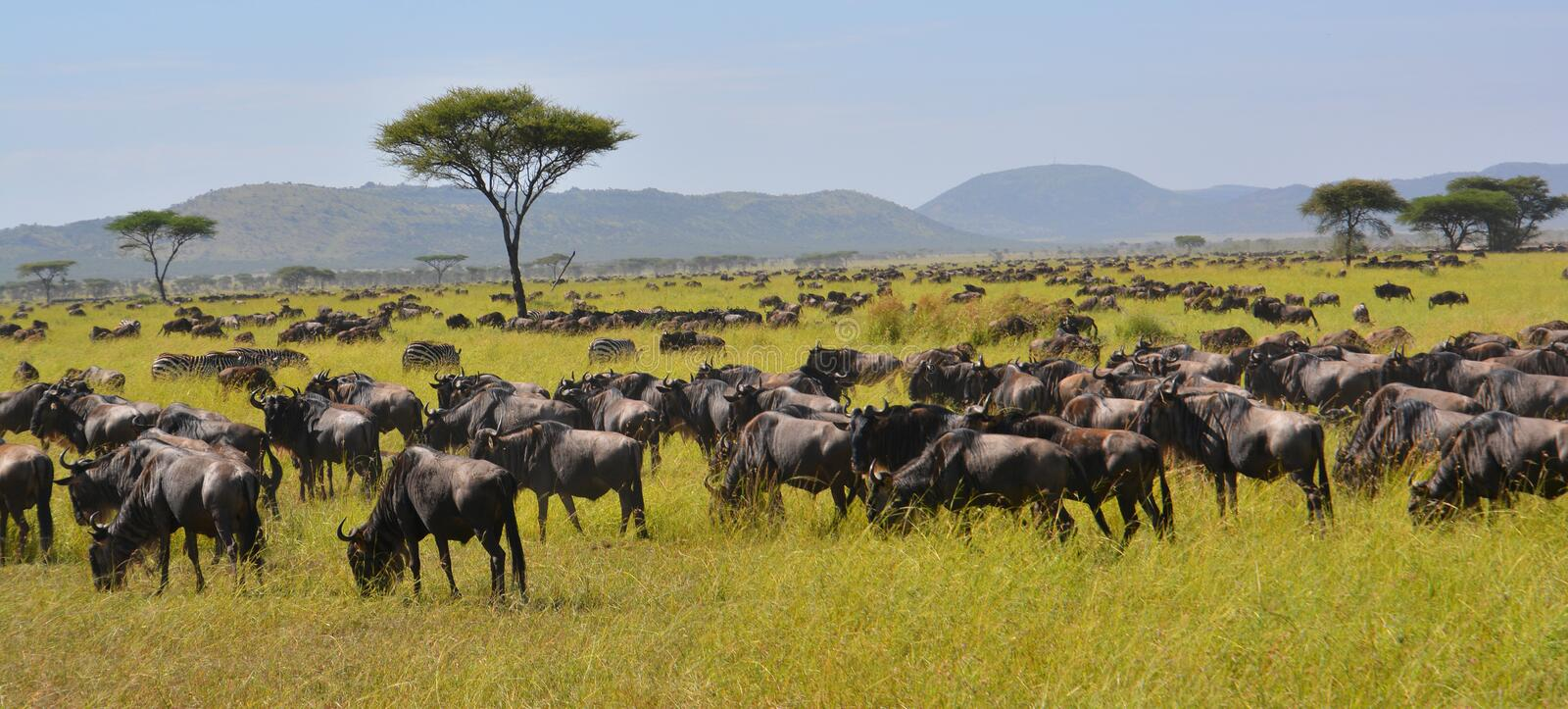 Migration of the buffalo Wildebeest on the plains of Africa. In a game reserve in Kenya. Hundreds of Wildebeest royalty free stock photography
