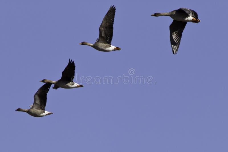 Migration d'oies photos stock