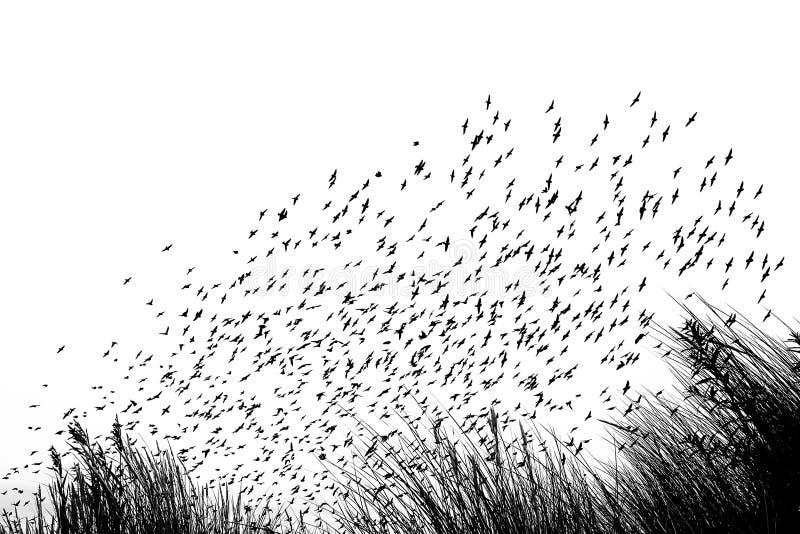 Migration d'oiseau dans les dunes - vides et l'image blanche photos stock