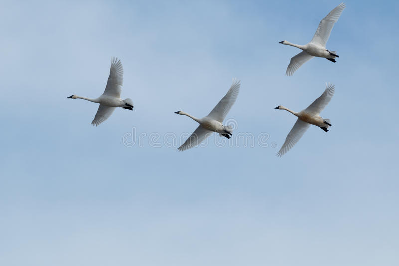 Migration de cygne de toundra photos libres de droits