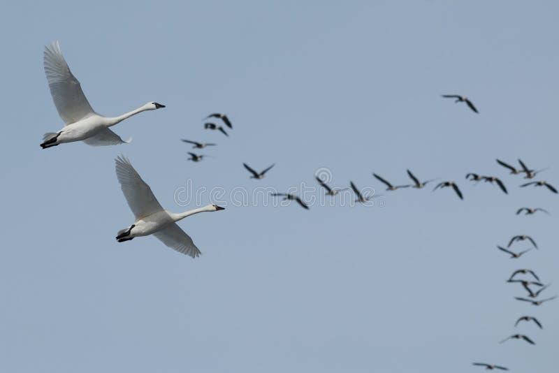 Migration de cygne de toundra images libres de droits