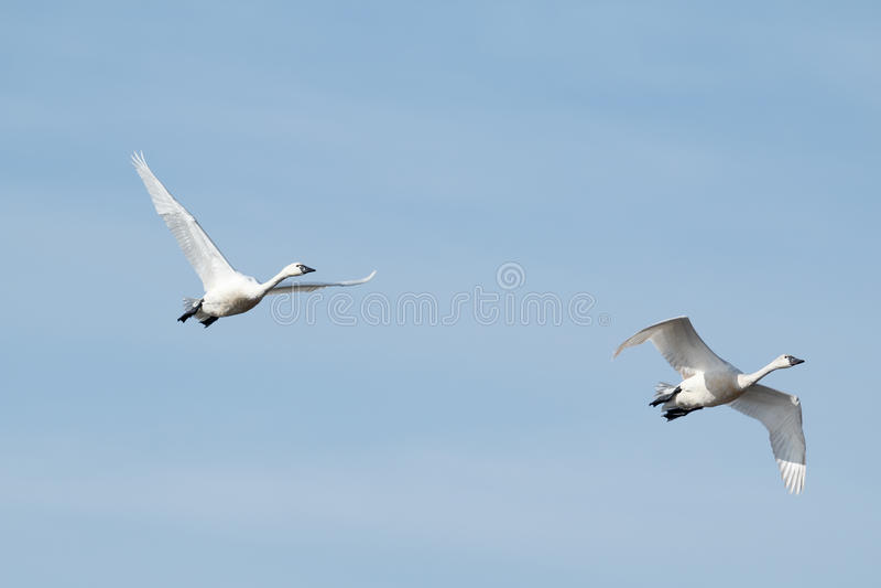 Migration de cygne de toundra photos stock
