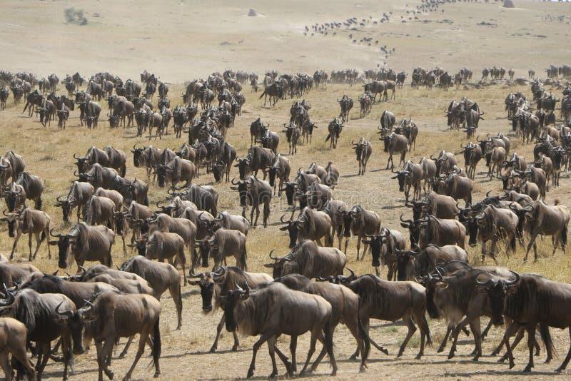 Migration de gnou dans le maasai Mara images libres de droits