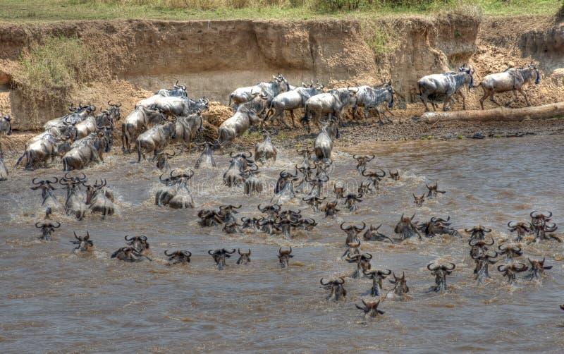 Migration de gnou traversant la rivière de Mara images libres de droits