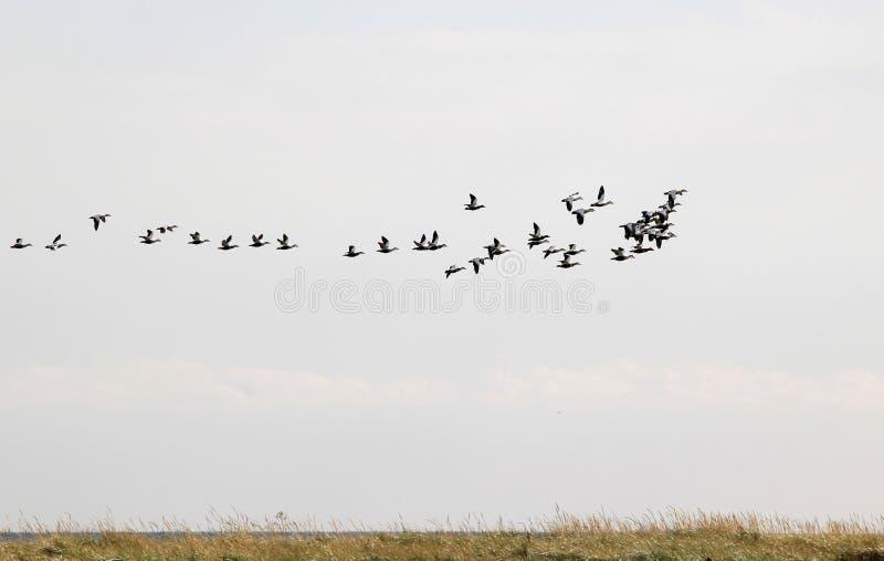 Migration des eiders communs au-dessus de Falsterbo, Suède images libres de droits