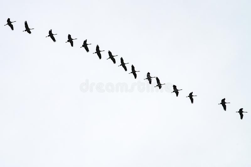 Flying in line, migration birds, flying cranes stock images