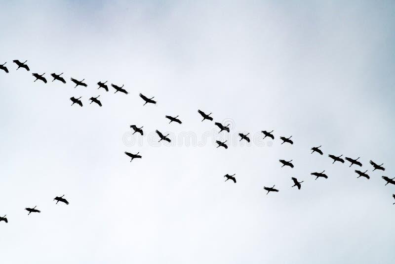 Cranes formation flight, migration birds, flying cranes royalty free stock photos