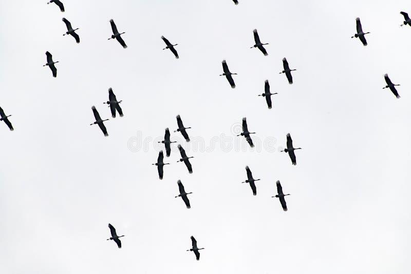 Cranes flight, migration birds, flying cranes stock photo