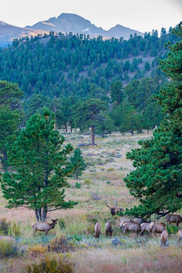 Migration Rocky Mountain National Park d'élans photos libres de droits