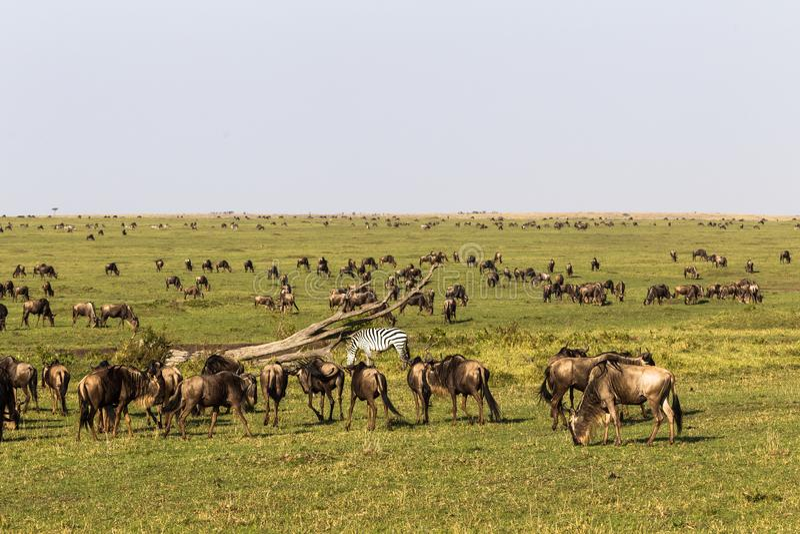 Migration wildebeest and zebras in savanna of Kenya. Africa stock photography