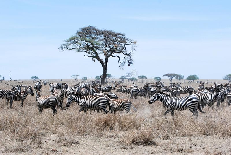 Migration Zebra dry grass savanna Tanzania. Migration with large group plain zebras on dry grass savanna with acacia trees - Serengeti National Park -Tanzania royalty free stock images