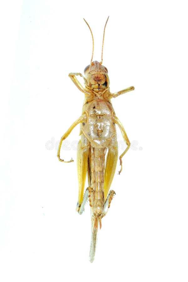 Migratore orientale dell'insetto del parassita immagini stock