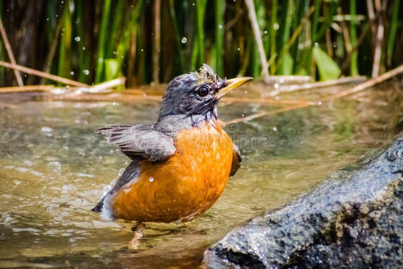 Migratorius Turdus Робина американца купая в отмелом бассейне стоковые изображения rf