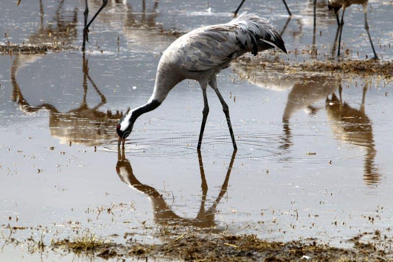 Migratory birds at Lake Hula stock images