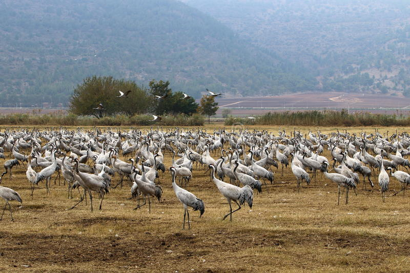 Migratory birds in a national bird sanctuary Hula is located in northern Israel stock photo