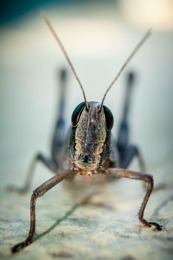 Free Migratory Locust, Locust, Locusta Migratoria. Grasshopper Locust Isolated On White Background. Locust Attack In India Stock Images - 189692184