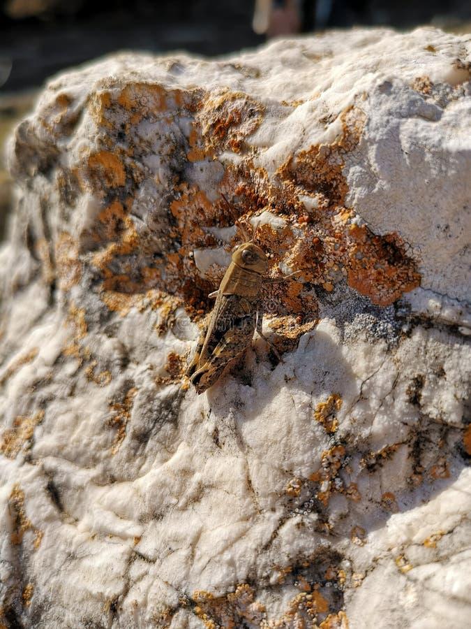 Brown locust on a white stone. Locusta migratoria. royalty free stock photography