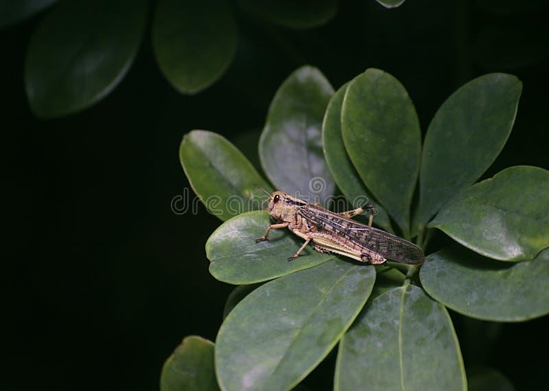 Migratory Locust (Locusta migratoria) On Leaves royalty free stock photos