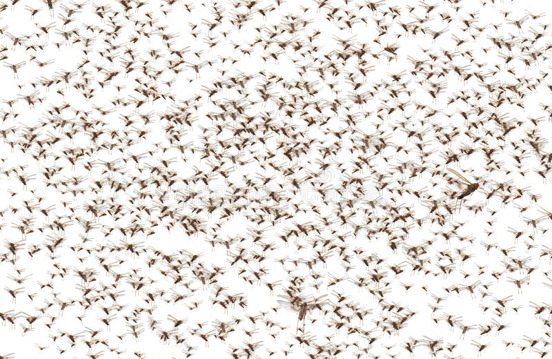 Migratory locust swarm. Locusta migratoria. Acrididae. Oedipodinae. Agriculture and pest control. Isolated on a white background stock photography