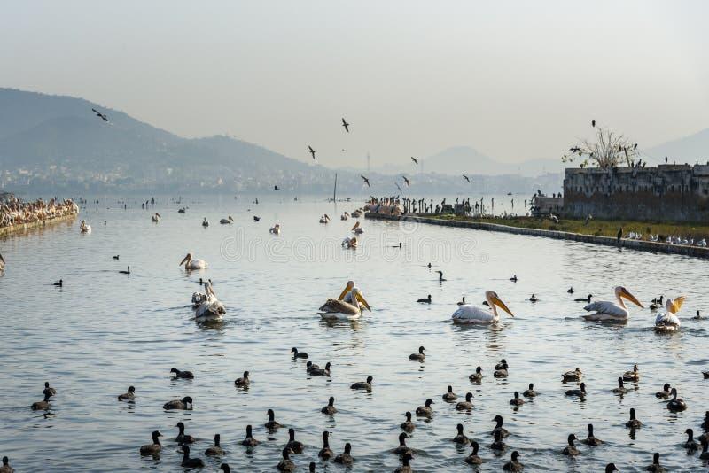 Migratory Pelican Birds and Black Ducks on Lake Anasagar in Ajmer. India. Migratory Pelican Birds and Black Ducks on Lake Anasagar in Ajmer. Rajasthan. India stock image