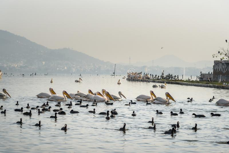 Migratory Pelican Birds and Black Ducks on Lake Anasagar in Ajmer. India. Migratory Pelican Birds and Black Ducks on Lake Anasagar in Ajmer. Rajasthan. India royalty free stock images