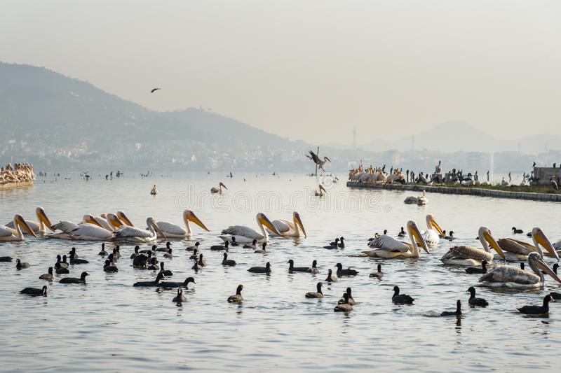 Migratory Pelican Birds and Black Ducks on Lake Anasagar in Ajmer. India. Migratory Pelican Birds and Black Ducks on Lake Anasagar in Ajmer. Rajasthan. India royalty free stock image