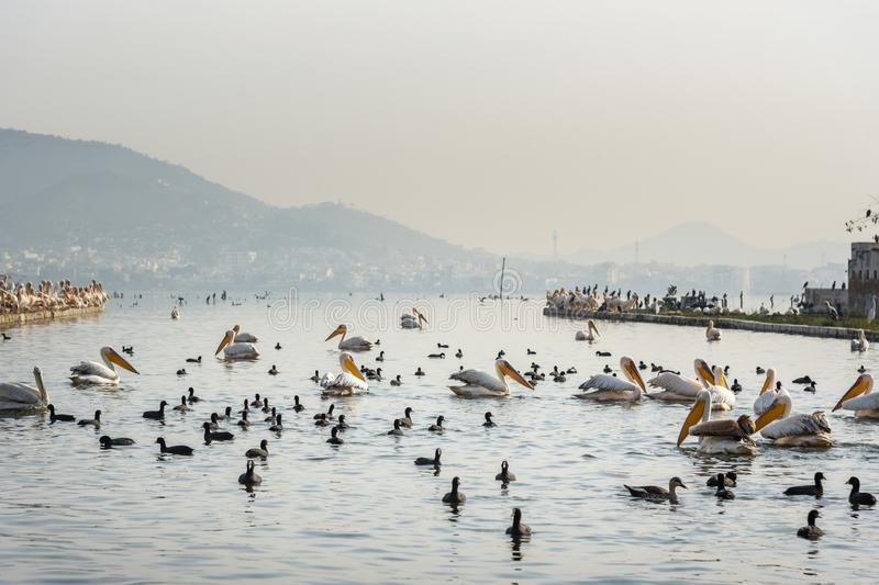 Migratory Pelican Birds and Black Ducks on Lake Anasagar in Ajmer. India. Migratory Pelican Birds and Black Ducks on Lake Anasagar in Ajmer. Rajasthan. India stock images