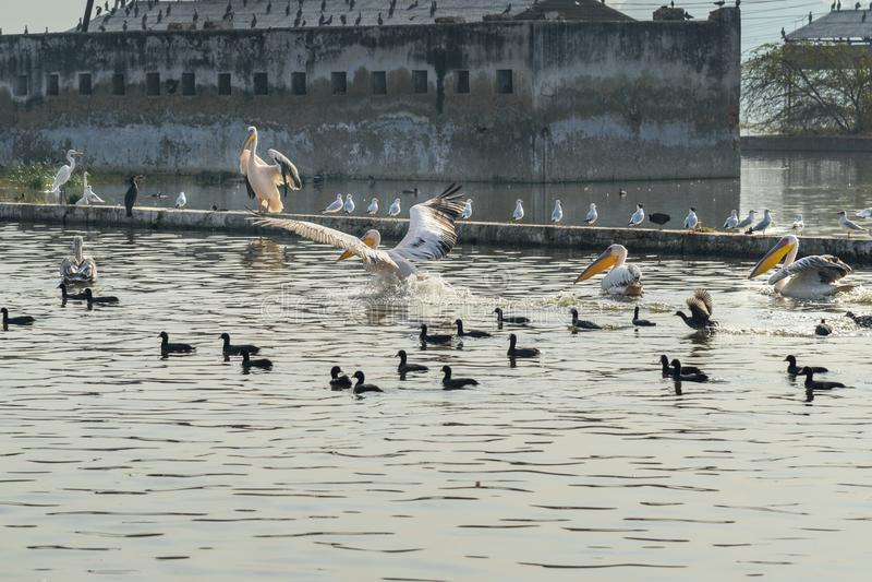 Migratory Pelican Birds and Black Ducks on Lake Anasagar in Ajmer. India. Migratory Pelican Birds and Black Ducks on Lake Anasagar in Ajmer. Rajasthan. India royalty free stock photos