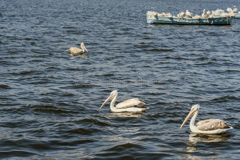Migratory Pelican Birds on boat on Lake Anasagar in Ajmer. India. Migratory Pelican Birds on boat on Lake Anasagar in Ajmer. Rajasthan. India royalty free stock photography