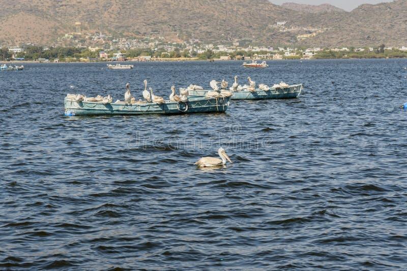 Migratory Pelican Birds on boat on Lake Anasagar in Ajmer. India. Migratory Pelican Birds on boat on Lake Anasagar in Ajmer. Rajasthan. India royalty free stock photo