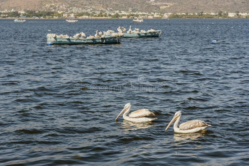 Migratory Pelican Birds on boats on Lake Anasagar in Ajmer. India. Migratory Pelican Birds on boats on Lake Anasagar in Ajmer. Rajasthan. India royalty free stock photography