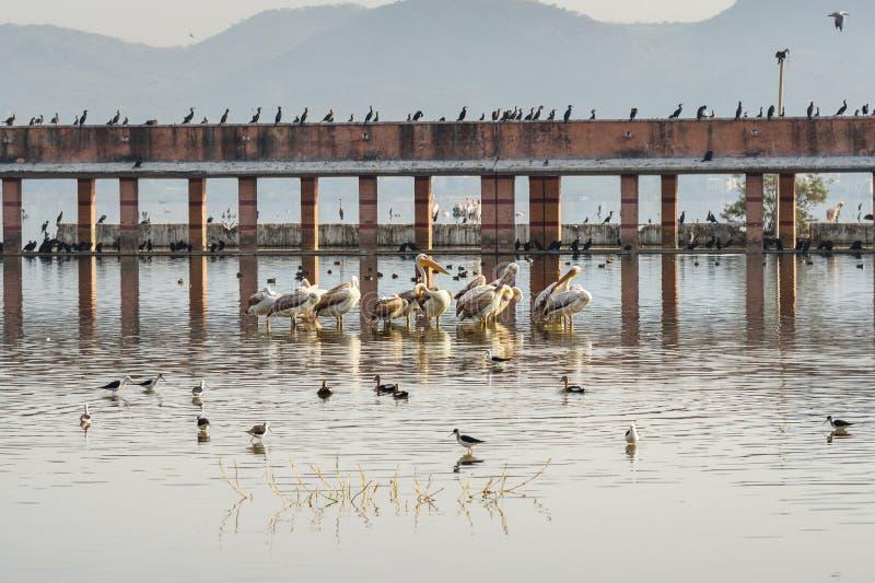 Migratory Pelican Birds, Cormorants and Egrets on Lake Anasagar in Ajmer. India. Migratory Pelican Birds, Cormorants and Egrets on Lake Anasagar in Ajmer stock images