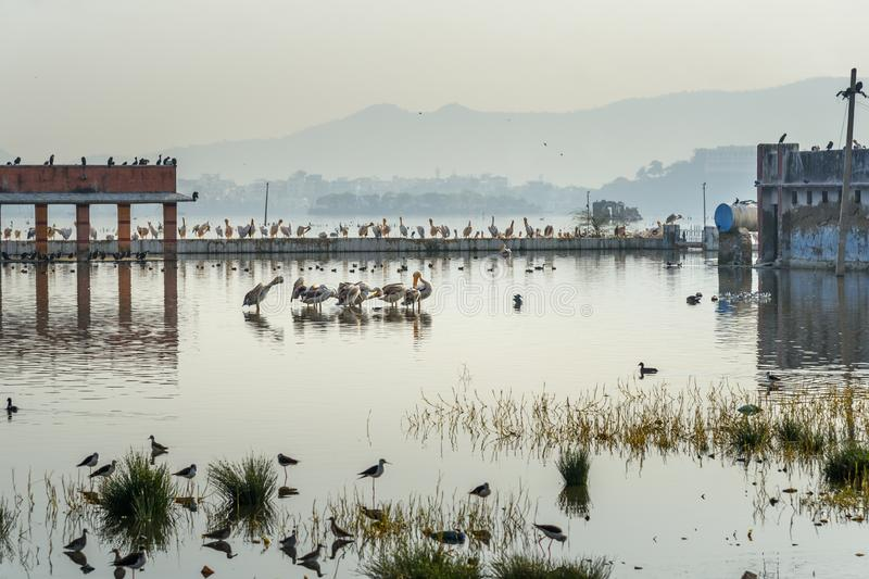 Migratory Pelican Birds and Egrets on Lake Anasagar in Ajmer. India. Migratory Pelican Birds and Egrets on Lake Anasagar in Ajmer. Rajasthan. India stock photos