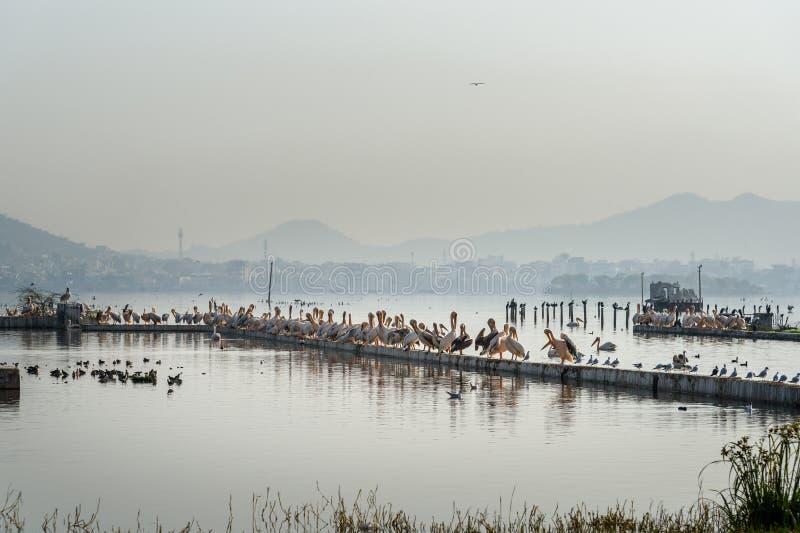 Migratory Pelican Birds on Lake Anasagar in Ajmer. India. Migratory Pelican Birds on Lake Anasagar in Ajmer. Rajasthan. India stock photo